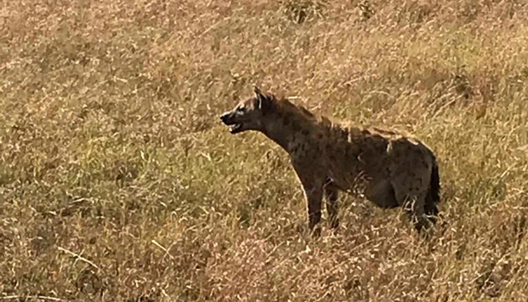 Hyena | Serengeti National Park | Lisa's African Adventure