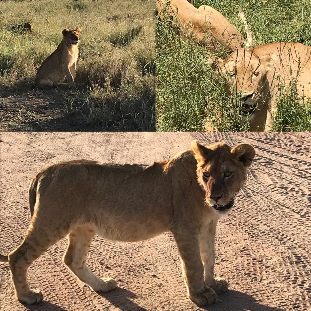 Lions in Serengeti National Park | Lisa's African Adventure | Erne Travel