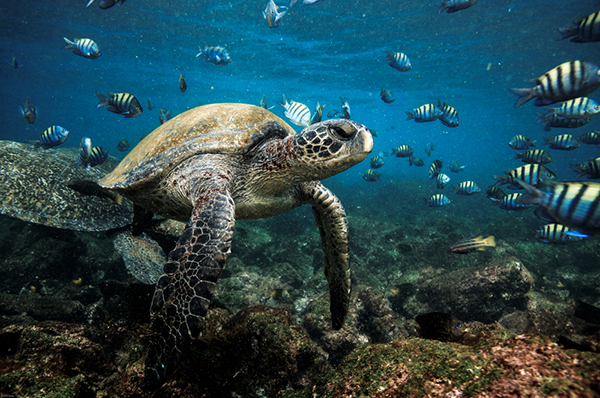 Sea turtle in the Galapagos | Latin America | Be Inspired | Erne Travel